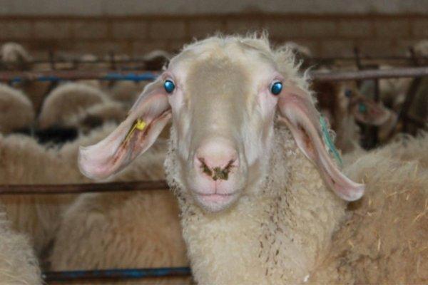 Supply of Assaf. e sheep
